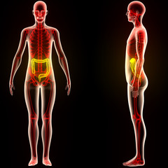 Human Body Organs (Large Intestine)