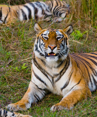 Wild tiger lying on the grass. India. Bandhavgarh National Park. Madhya Pradesh. An excellent illustration.