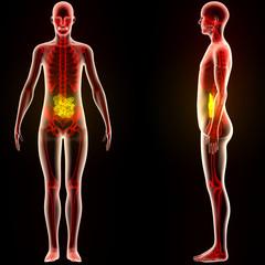Human Body Organs (Small Intestine)