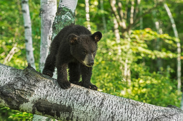 Young Black Bear Cub (Ursus americanus) Looks Down Branch
