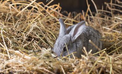 Grey rabbit on dry grass (straw)