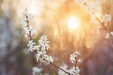 Wall Mural - Blooming tree branches with white flowers against sunset. Spring
