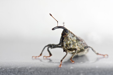 Weevil on a gray background