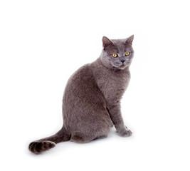 Sitzende, graue Katze