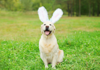 Happy Golden Retriever dog with rabbit ears sitting on grass in
