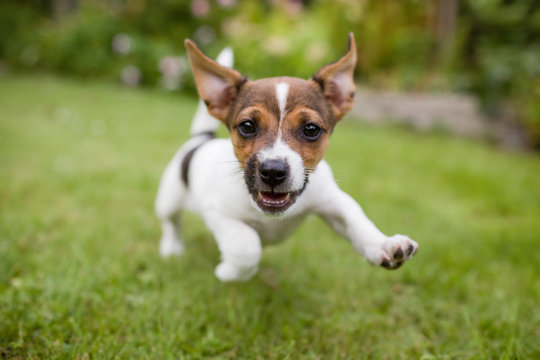 A very happy puppy is running with flappy ears trough a garden with green grass. It almost looks like he can fly. His mouth is open showing his tiny canine teeth.