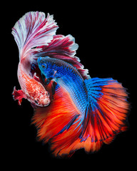 Poster de jardin Poisson Twain Betta fish