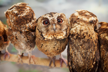 Funny portrait of curious baby owl with wide opened eyes sitting on perch side by side among group of another birds.