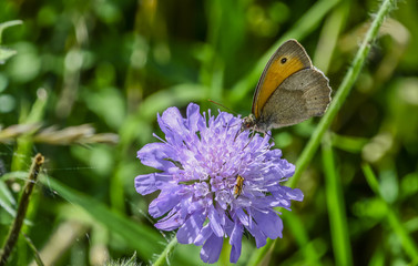 Brown meadow butterfly on wildflower  Macro photography of a lovely Maniola jurtina butterfly, commonly known as the meadow brown, while devouring the nectar from a summer purple wildflower.