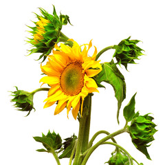 Sunflower blooming bud
