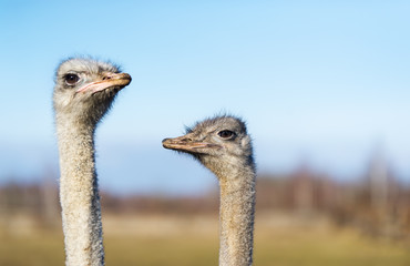 Two ostrich on the farm.