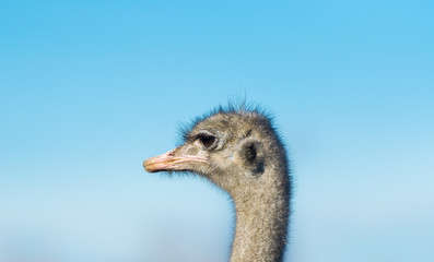 One ostrich on the farm