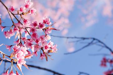 Pink cherry blossom on blue sky