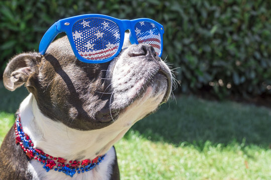 Cute Boston Terrier Dog Wearing Fourth of July Stars and Stripes Sunglasses and Necklace