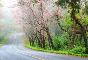Beautiful pink sakura landscape view on road at Doi Ang Khang, C