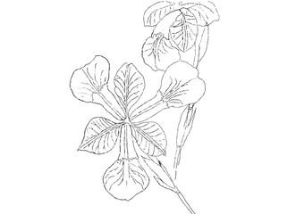 Iris flower line drawing