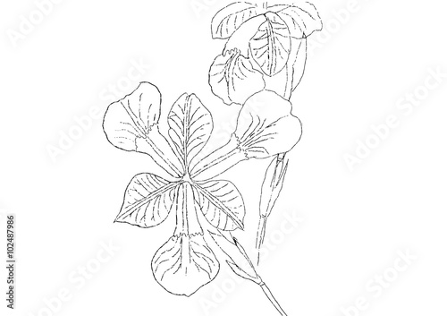 Line Drawing Of Iris Flower : Quot iris flower line drawing stock image and royalty free