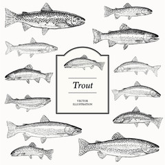 trout illustrations