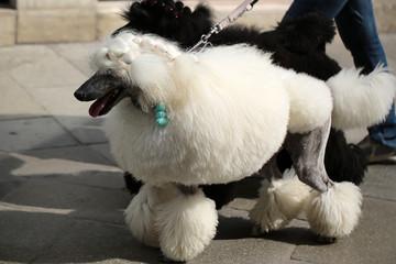 Two elegant standard poodles