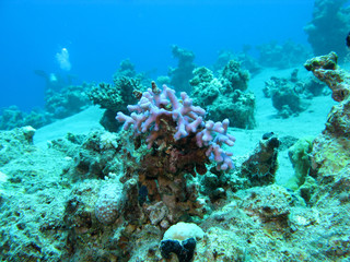 coral reef with  finger coral in tropical sea at great depths, underwater