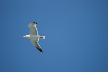 fliegende Silbermoewe