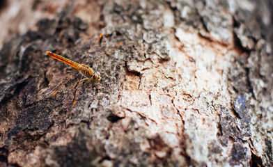 dragonfly resting on a Bark in forest