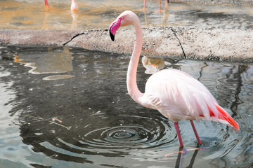 Pink flamingo in the water of  the pond and circles on water with copyspace