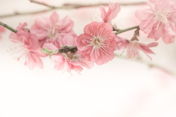 Sakura pink flower vintage color toned abstract nature backgroun