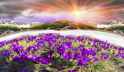 flowers - crocuses