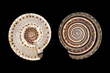 Architectonica perspectiva, a species of sea snail, a marine gastropod mollusk in the family Architectonicidae (staircase shells or sundials)