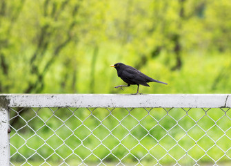 Portrait of a black bird on the fence. Little black crow walking on the fence.