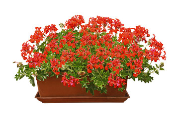 Jardinière de géranium lierre