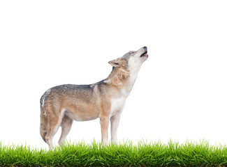 gray wolf howling isolated