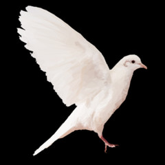 White dove on black