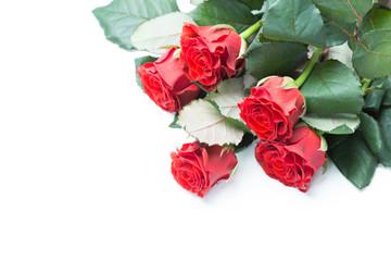 Beautiful roses isolated
