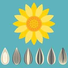 Vector sunflower and sunflower seed, flat design