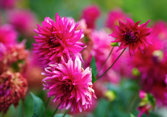Close-up of bright purple chrysanthemum flowers in the garden. Flowering pink chrysanthemum. Shallow depth of field. Selective focus.
