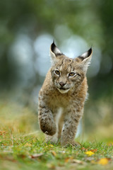 Foto op Plexiglas Lynx Cat Eurasian lynx in the green grass in czech forest, baby chick