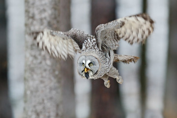 Great Grey Owl, Strix nebulosa, flight in the forest, blurred trees in background