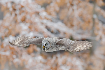 Great Grey Owl, Strix nebulosa, flying bird in the white snow trees with orange autumn forest background