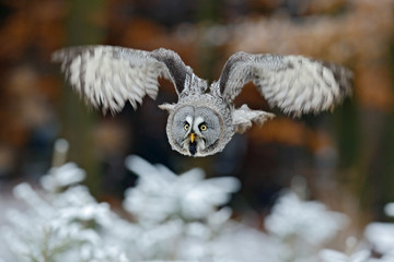Flying Great Grey Owl, Strix nebulosa, above white snow tree with orange autumn forest background