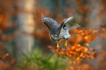 Flying bird of prey Goshawk with blurred orange autumn tree forest in the background