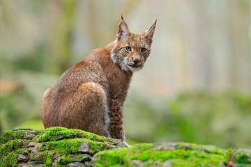 Eurasian Lynx, wild cat sitting on the orange leaves in the forest habitat Wall mural