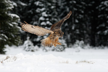 Eurasian Eagle Owl fly hunting during winter surrounded with snowflakes