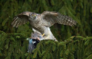 Bird of prey Goshawk kill European Jay on the green spruce tree