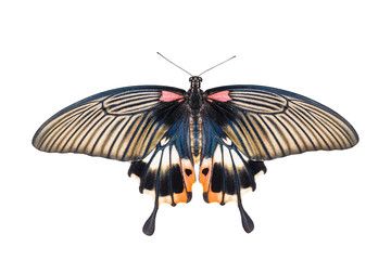 Isolated yellow body female great mormon swallowtail butterfly o