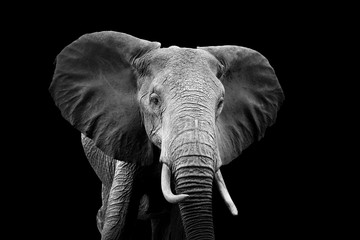 Photo sur Aluminium Elephant Elephant on dark background