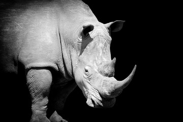 Rhino on dark background