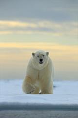 Gevaarlijk uitziende ijsbeer op het ijs in Svalbard