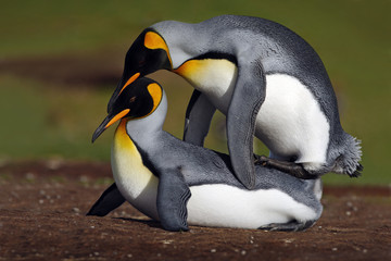 Wild mating king penguins with green background